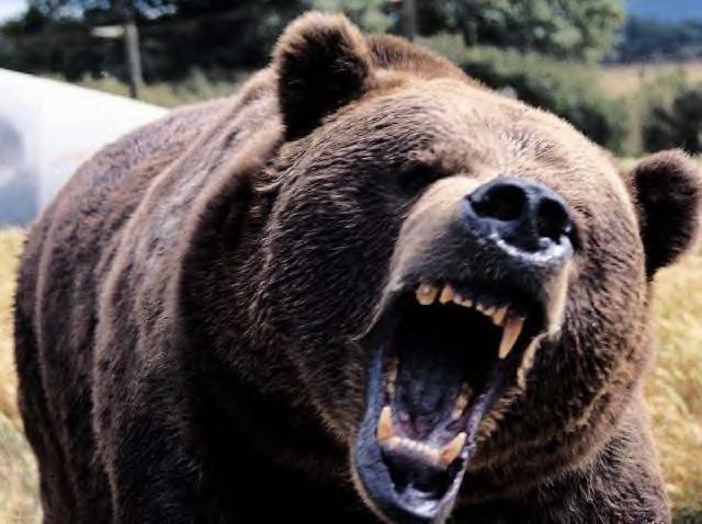 a-bear-roaring2.jpg